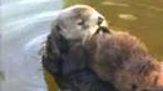 Cute Baby Sea Otters at Monterey Bay Aquarium thumbnail