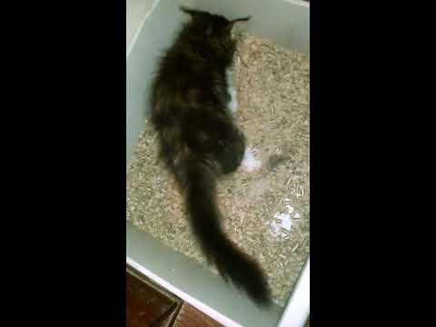 Вопрос: Почему котёнок не ходит в туалет в древесный наполнитель?