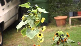 Nanday Conure Parrots Attack My Sunflowers