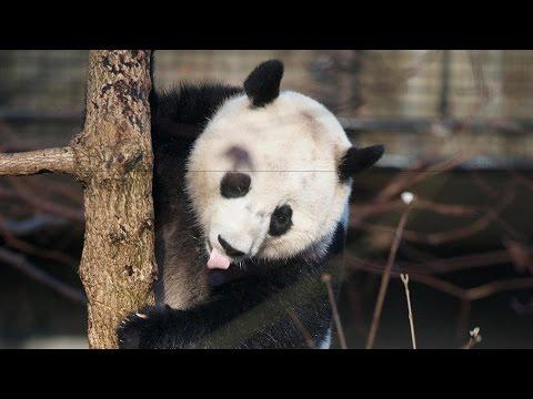 Smithsonian National Zoo 'Panda Cam'