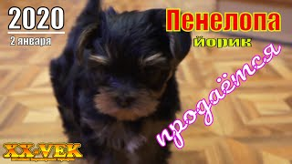 щенок йоркширского терьера Пенелопа продаётся / XX-Vek