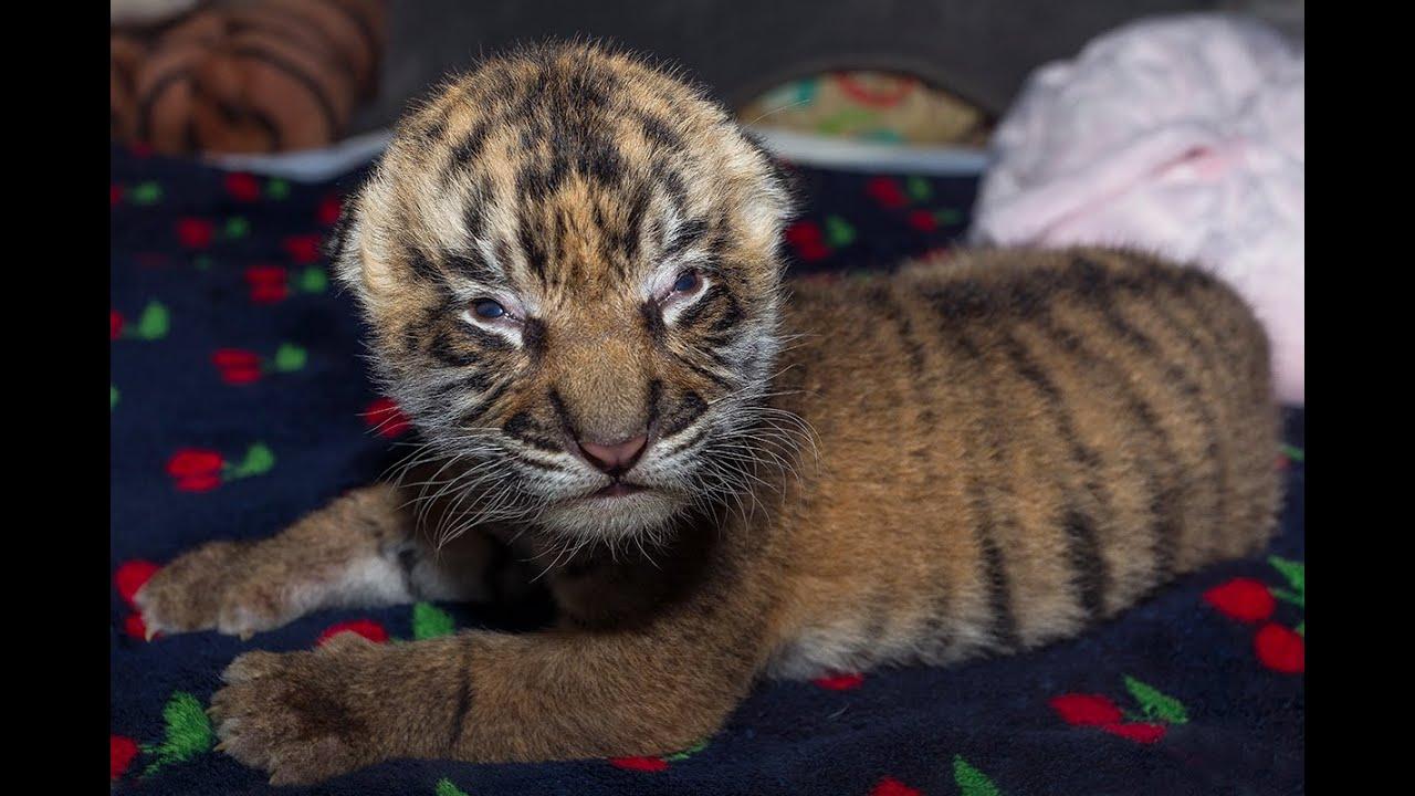 Tiger Cub Born at the San Diego Zoo Safari Park