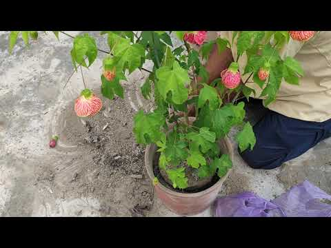 How To Potting Of Painted Mallow(Abutilon Pictum) Flower.