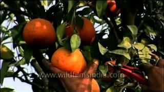 The Punjabi Kinnow - Orange country in India