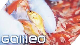 Die Goldfisch-Auktion | Galileo | ProSieben