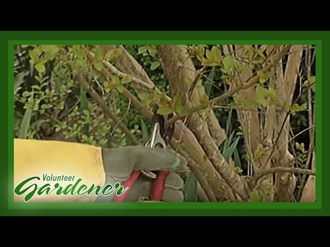 Pruning Crape Myrtles | Volunteer Gardener