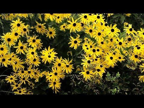 528Hz Solfeggio & Tanpura - Yellow Wildflowers