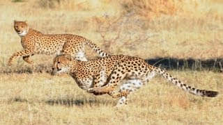 Top 10 Fastest Land Animals