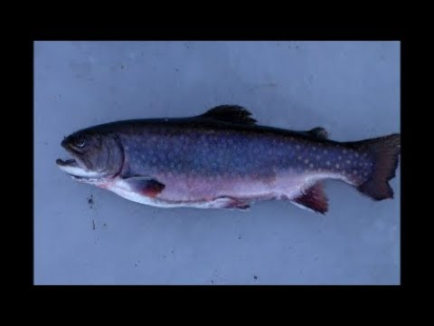Ice Fishing In Maine 2019-'20 - First Trout On The Ice!!