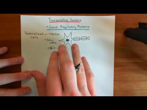 Transcription Factors Part 1