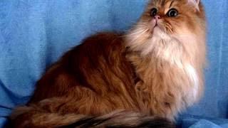 Порода кошек. Персидкая кошка. Очень красивая порода кошек