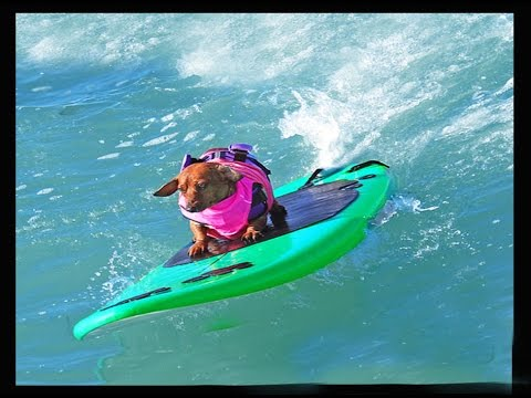 Coppertone Surf Dog - Dachshund Dog Surfing Hysterical -