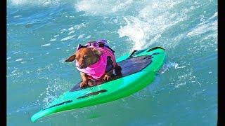 Coppertone Surf Dog - Dachshund Dog Surfing Hysterical -