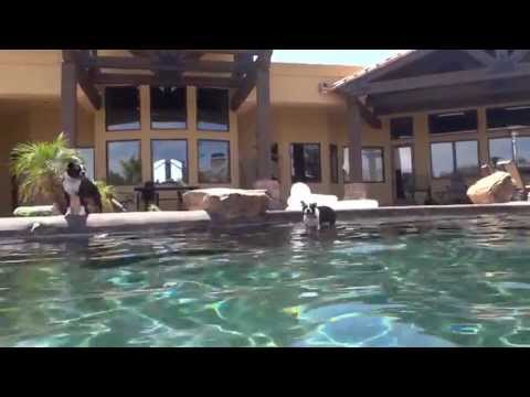 Boston Terrier Seals Swimming in Pool and off WaterFall. aka Michael Phelps
