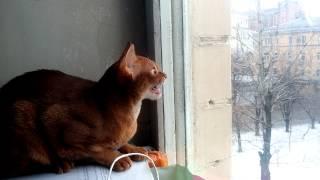 Кошка щёлкает зубами на птиц за окном