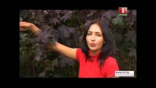 видео Декоративные деревья : Саженцы Клена