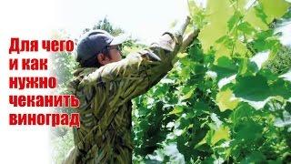 Когда проводить чеканку винограда