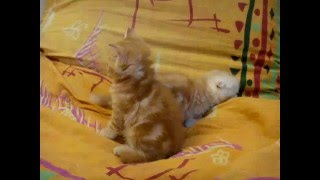 котята  манчкин красный мрамор