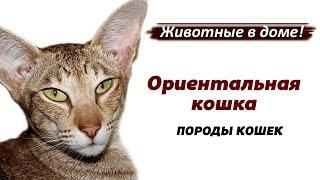 Ориентальная кошка - породы кошек.