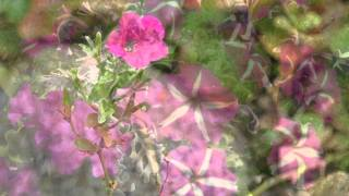 La Shivi Videos: I´m a Lonely Little Petunia (in an onion patch)