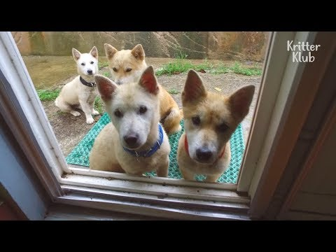 Girl Has A Crew Of Dogs Following Her | Kritter Klub