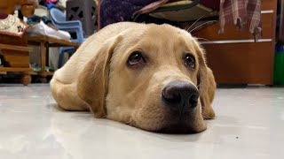 Labrador puppy missing his grandma and feels tired   Little John  