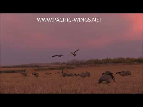 Hunting Canada geese using Power Feeder motion decoys with Pacific Wings Prairie Outfitters