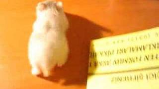 Little Dalmatian :) Dwarf Hamster