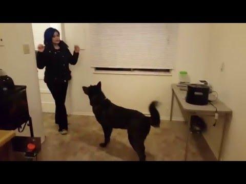 Wolfdog training out the window