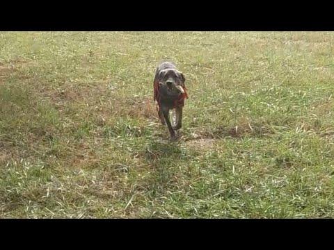 First Shed Hunt With Labrador Retriever x Brittany Spaniel Dog