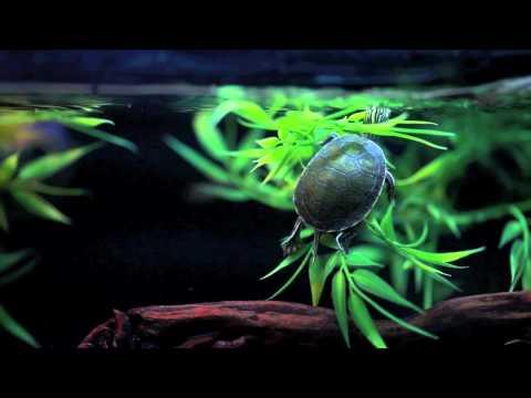 Diamondback Terrapin and Painted Turtle Tanks