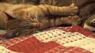 Рыжий кот разговаривает с человеком