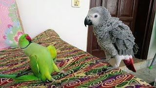 Indian Ringneck Greet African Grey Parrot