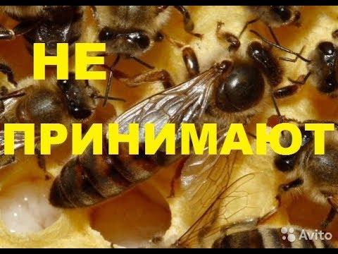 Пчёлы не принимают маток. Что делать....