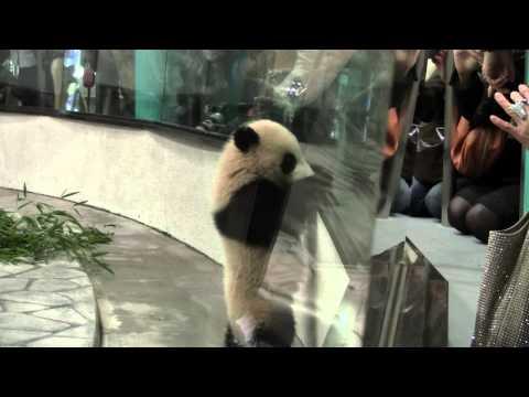 #5-11 Jan 2013 Panda Cub Yuhin at Wakayama, Japan