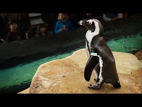 Live Penguin Cam (Biologist View) | California Academy of Sciences
