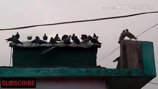 Pigeon loft,pigeon house part1||Animals and Birds Lover||   ||