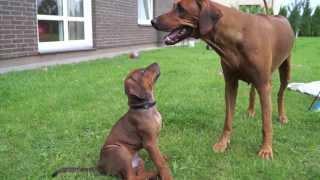 Rhodesian Ridgeback Puppies | Ievaimer