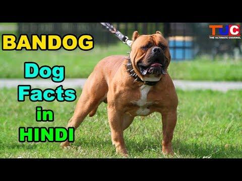 BANDOG Dog Facts In HINDI : Popular Dogs : TUC