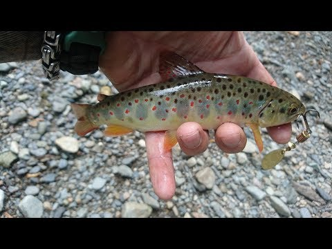 The most beautiful of the trout trout