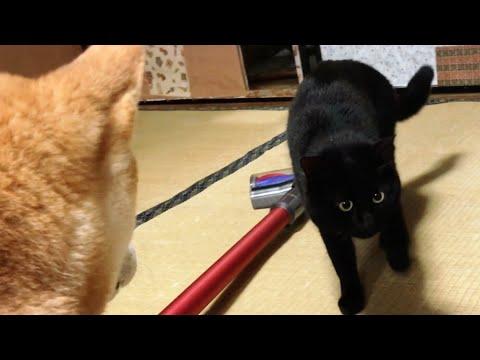 掃除機への当たりが強すぎる犬と、無関心すぎる猫  Dog and cat reaction to the vacuum cleaner