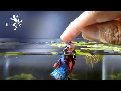 Betta Fish Male VS Female in High Jump