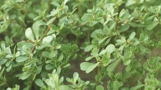 Purslane/Pusley - an edible low maintenance plant * see pinned comment