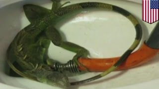 Toilet clogged by iguana: Florida family shocked to find massive lizard blocking toilet - TomoNews