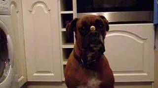 Boxer Dog With Biscuit On His Nose