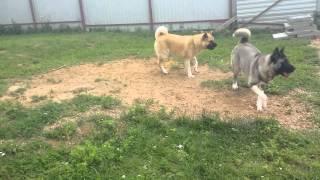 Акира и Орфей - щенки американской акиты, возраст десять с половино...