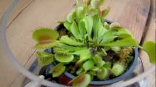 First Try at Growing Venus Fly Trap