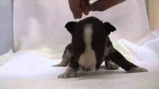 ブリーダー直販にて、かわいい子犬をお届けいたします♪ 子犬の詳細、進...