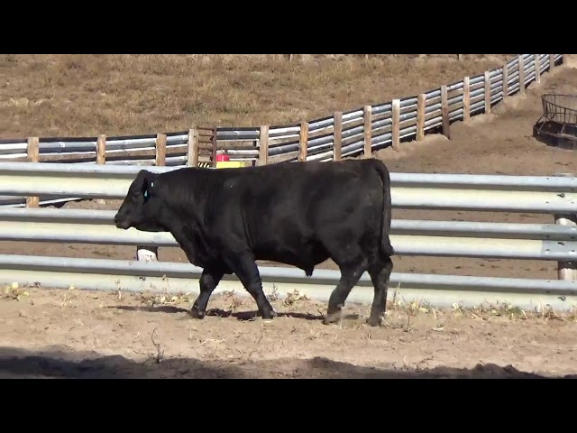 Connealy Angus Lot 19