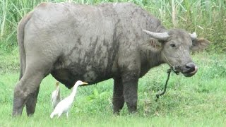 The BUFFALO & The EGRET on The Ricefield - Kerbau Burung Kuntul [HD]